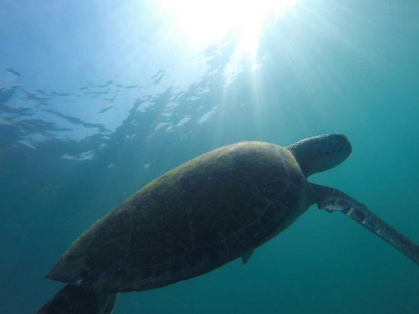Se deparando com tartaruga na Ilha das Couves