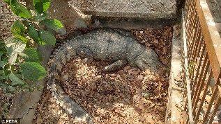 Crocodilo mantido em poço
