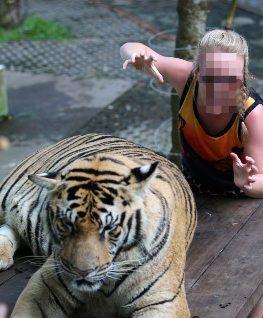 Atrações com animais silvestres como tirar fotos com os tigres