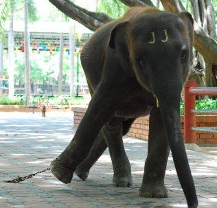 Atração com elefante é um dos tipos mais crueis de atrações com animais silvestres