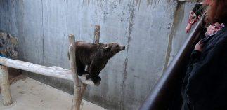 Urso em cativeiro