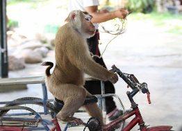 Macacos dançarinos fazem são uma das atrações com animais silvestres