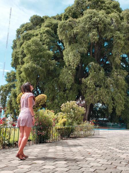 arbol del tule a árvore com o tronco mais grosso do mundo em santa maria del tule