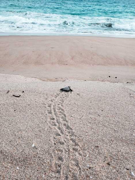 tartaruga indo em direção do mar em Puerto Escondido