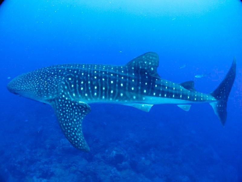 nadar com tubarão baleia no México
