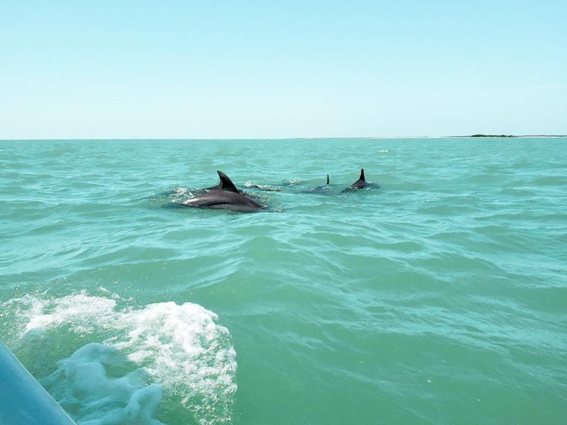 golfinho na Laguna de Términos em Isla Aguada