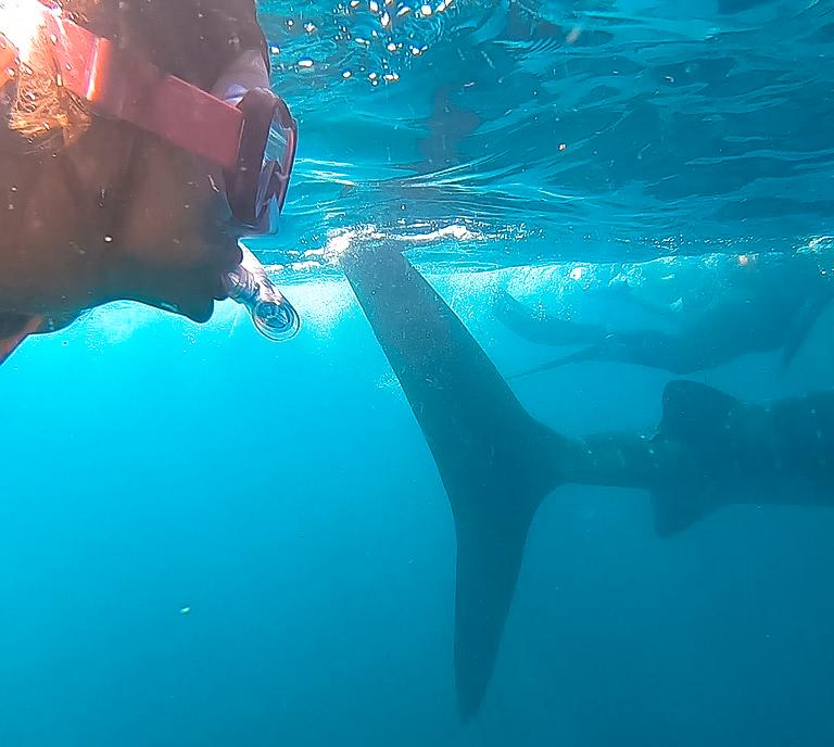 passeio com tubarão baleia em Holbox