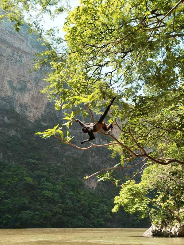 Macaco no Canon del Sumidero Chiapas