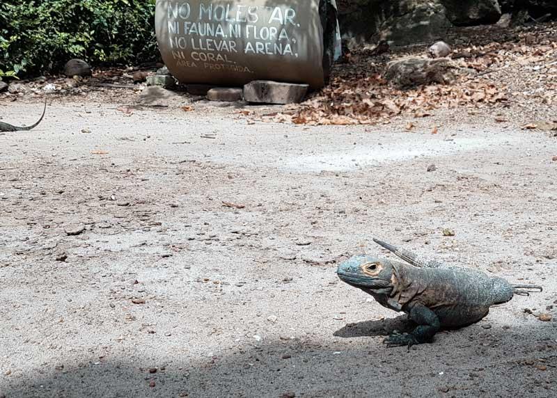 iguana na Isla Iguana Panamá